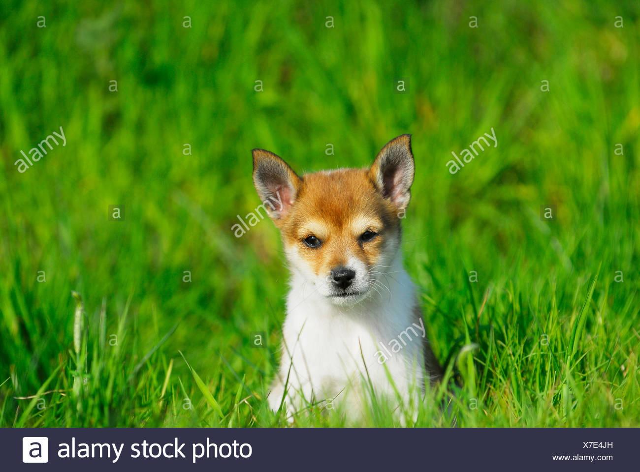 Norwegian Lundehund Puppy Stock Photo 279979465 Alamy