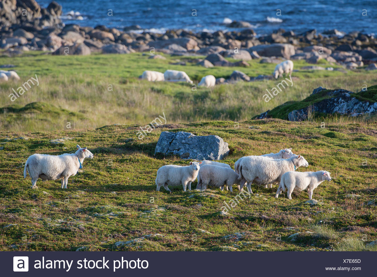 Sheep grazing by the sea, Insel Andøya, Vesterålen, Nordland, Northern Norway, Norway - Stock Image