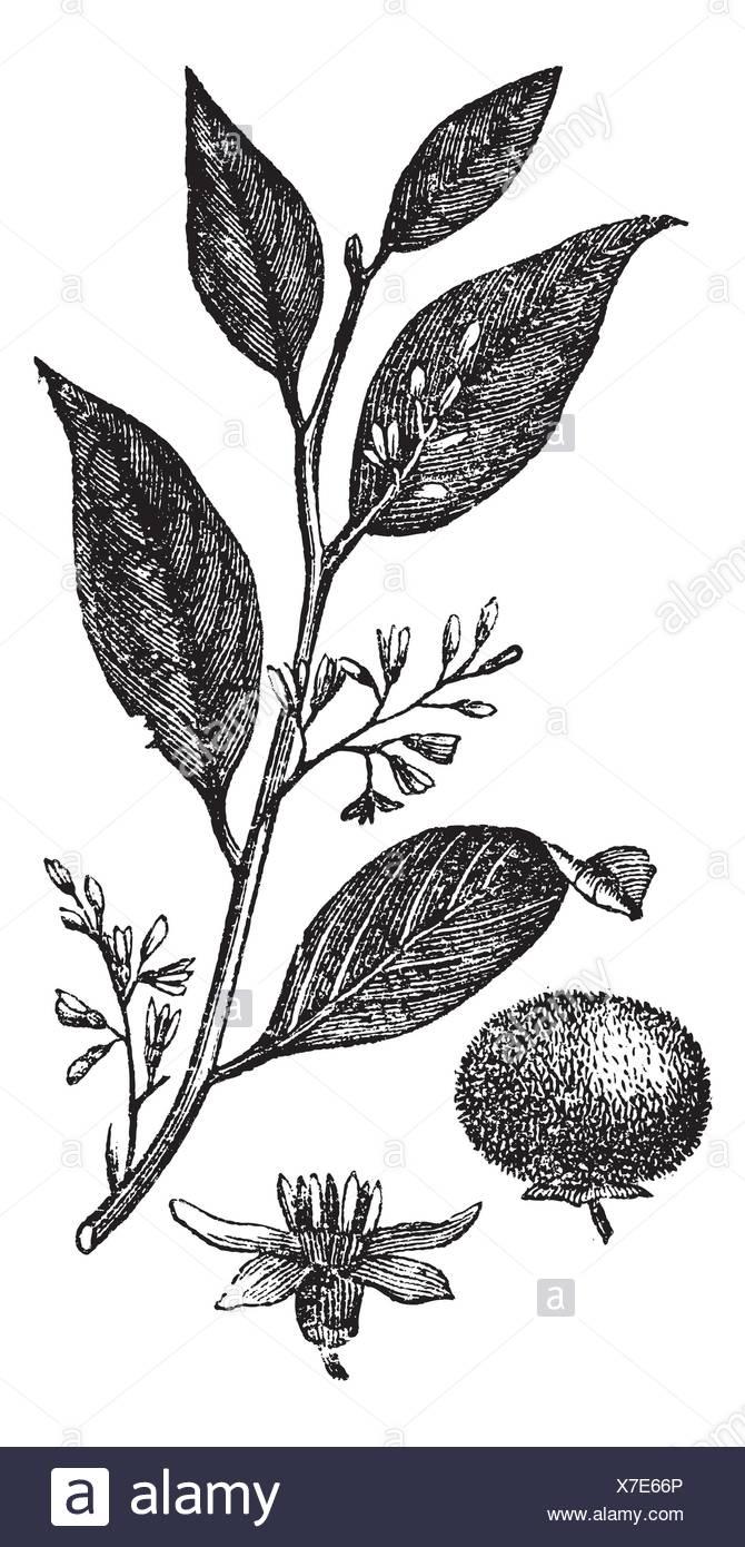 Styrax Benzoin or gum benjamin tree or loban or kemenyan or