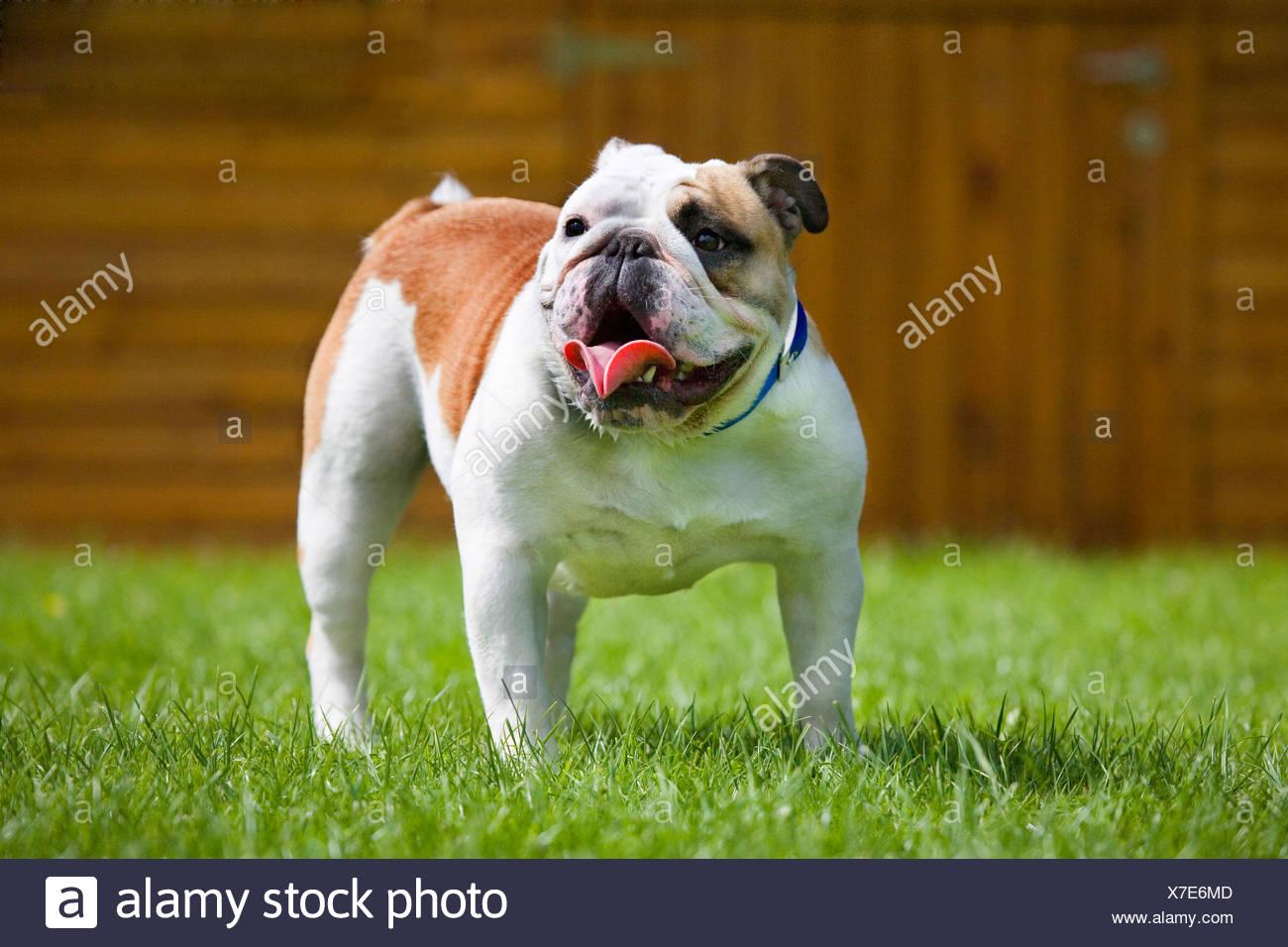 English Bulldog - Stock Image