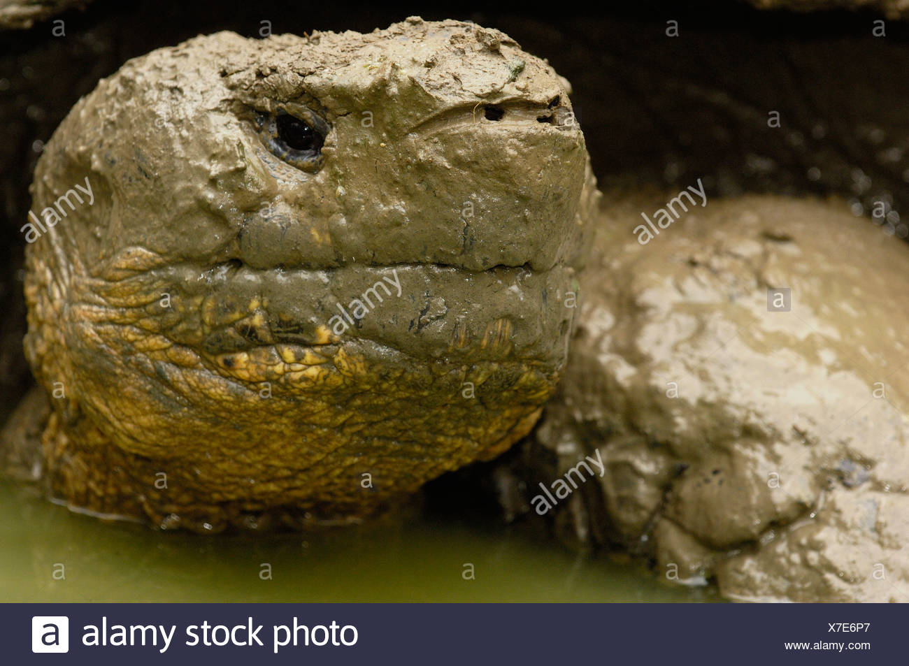 Galapagos Giant Tortoise wallowing in rain water pool, Highlands, Santa Cruz Island, Galapagos Islands, Ecuador, South America. - Stock Image