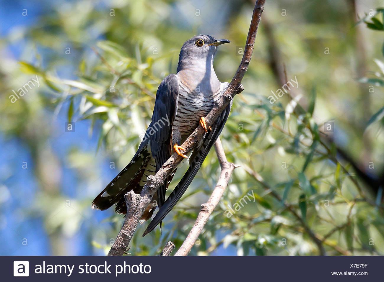 Kuckuck (Cuculus canorus), sitzt auf einem Ast, Rumaenien, Donaudelta | Eurasian cuckoo (Cuculus canorus), sitting on a branch,  - Stock Image