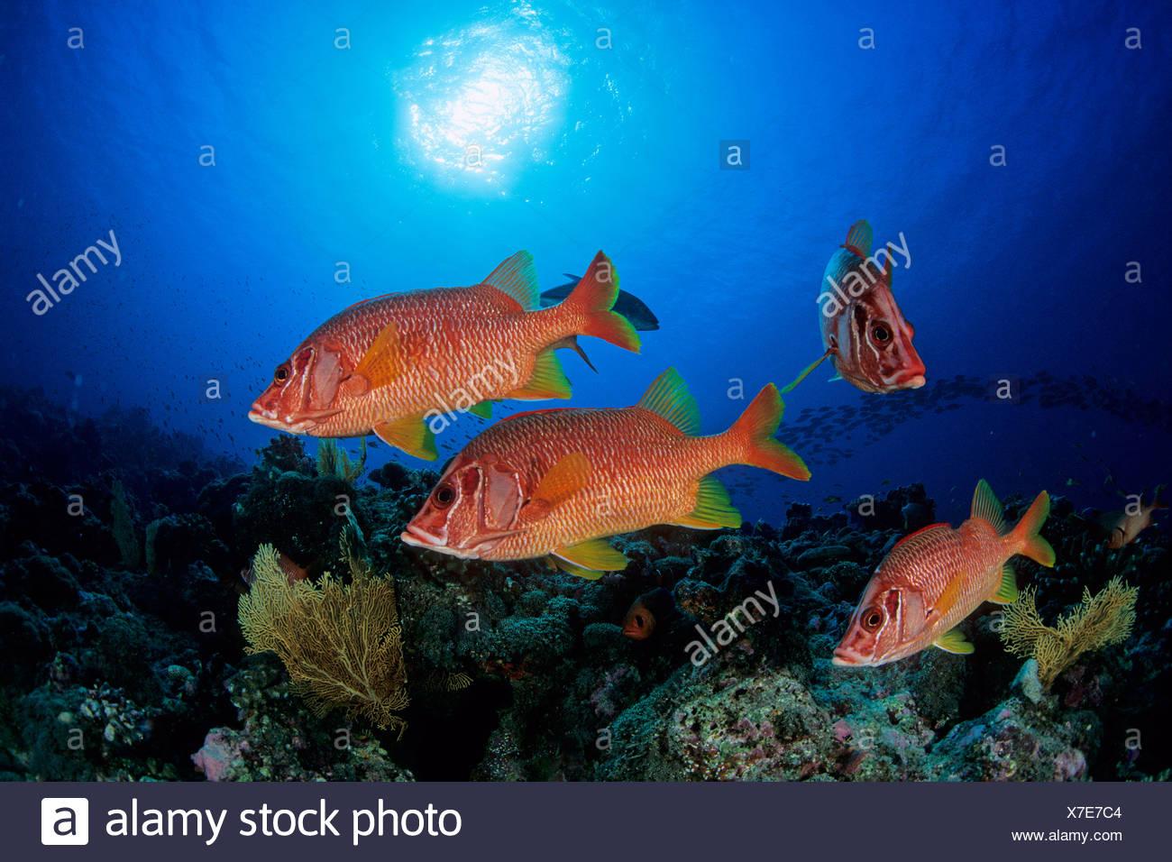 Giant squirrelfishes Sargocentron spiniferum Seychelles Aldabra Atoll Indian Ocean - Stock Image