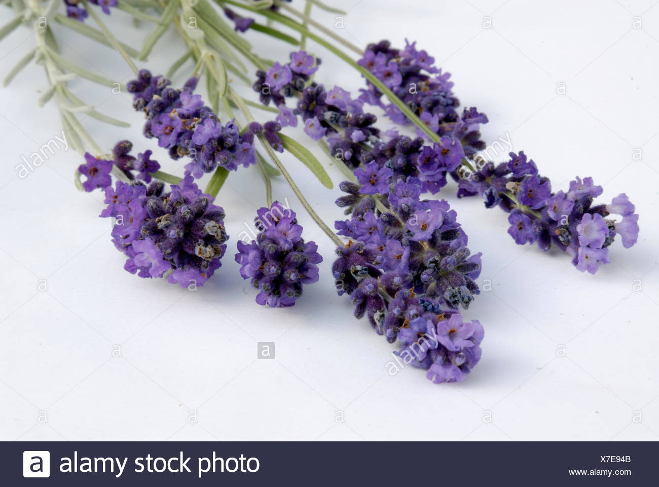 bloom blossom flourish flourishing violet lavender shrub cultigen blue optional Stock Photo