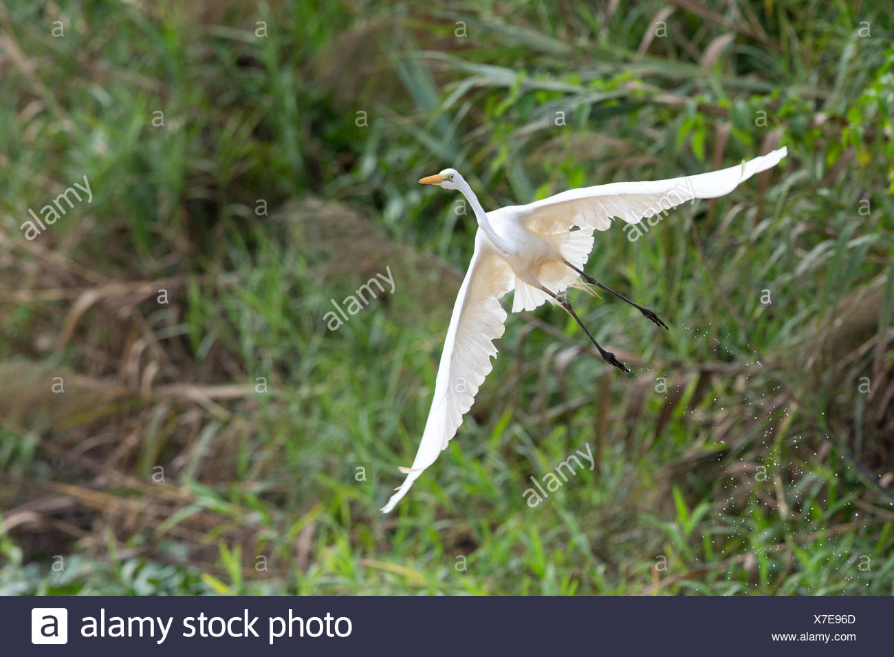 Intermediate egret in flight on the bank - Malaysia Stock