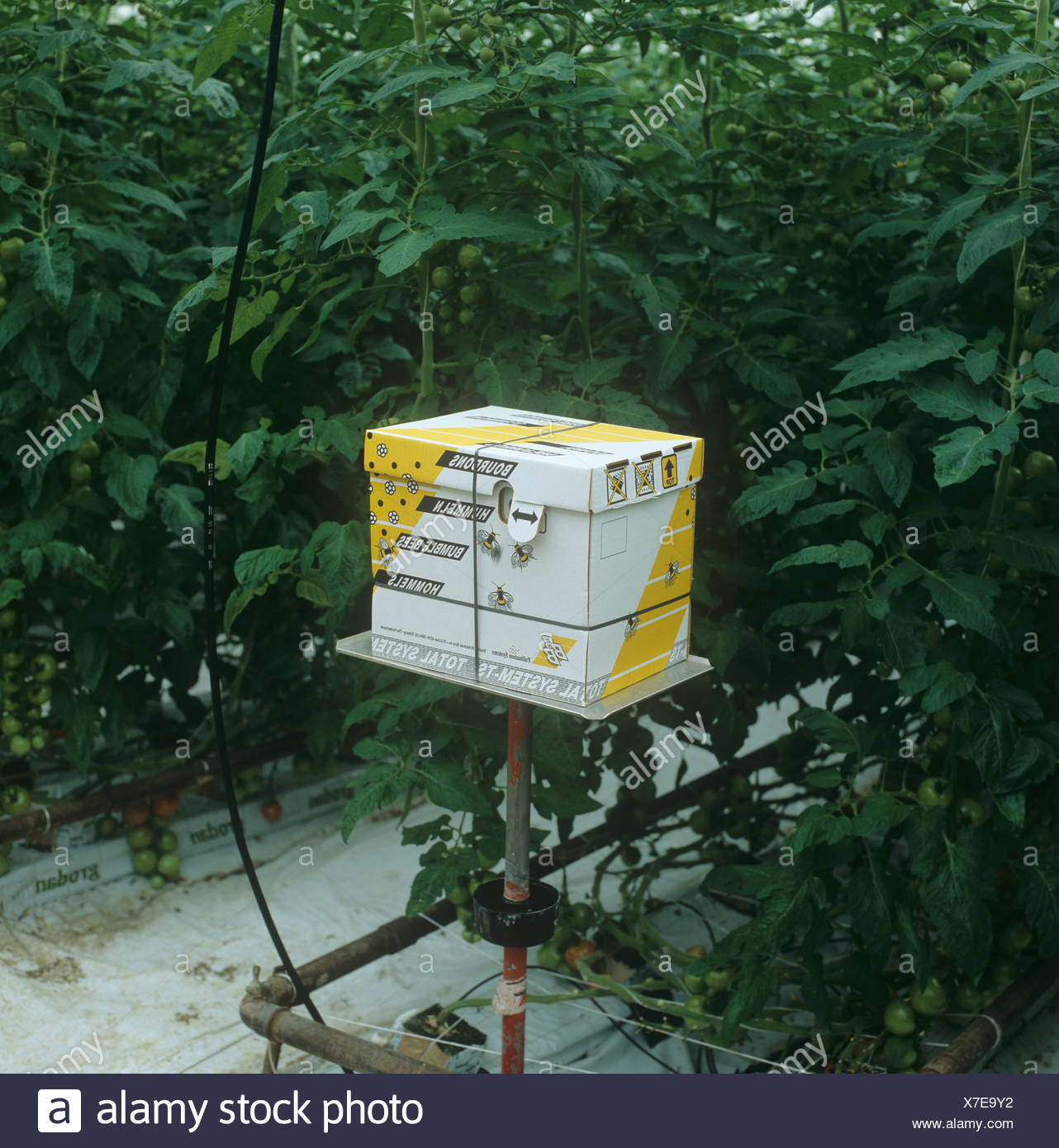 Bumblebee box in a commercial tomato glasshouse - Stock Image