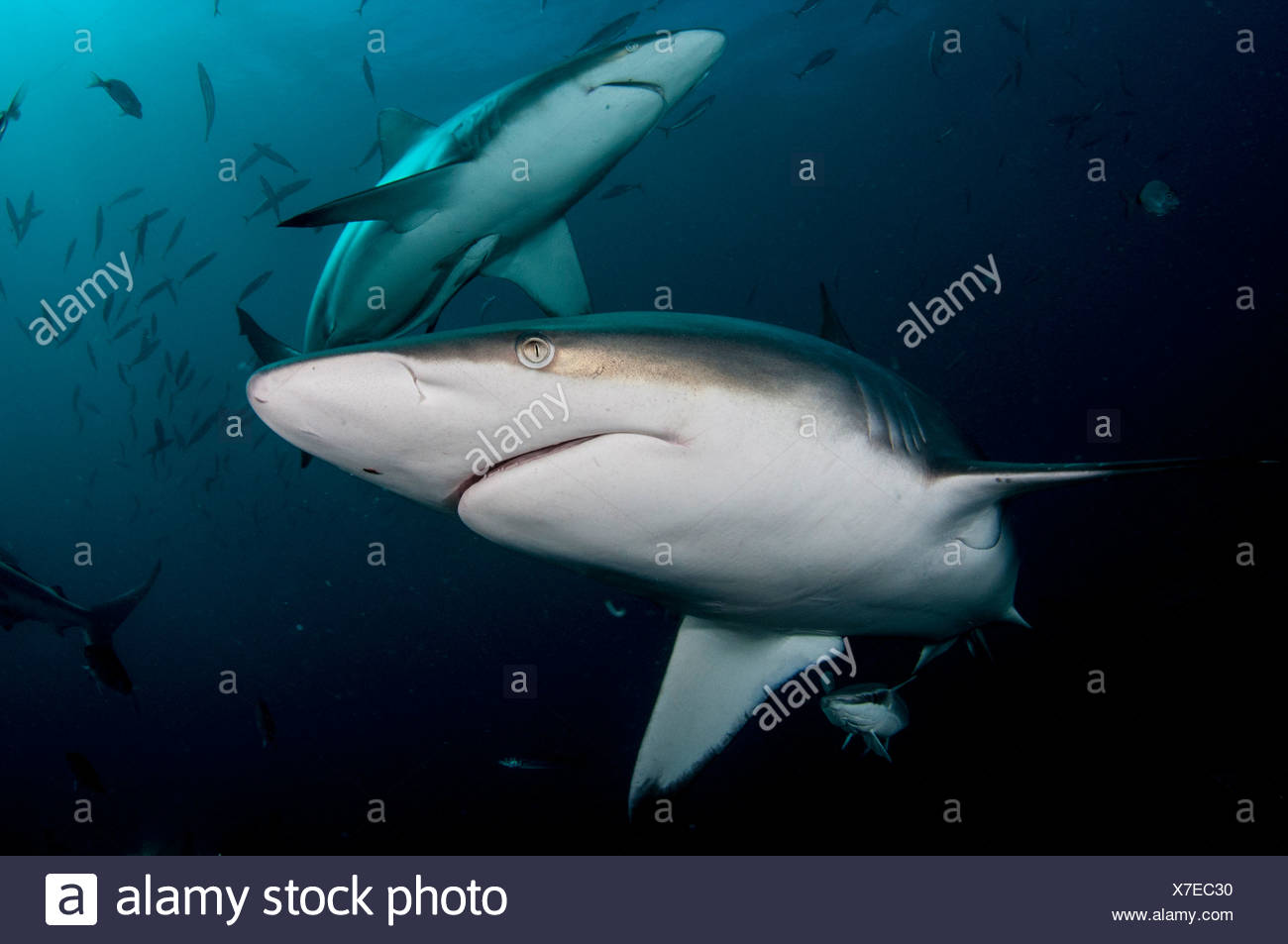 Oceanic Blacktip Sharks, Aliwal Shoal, South Africa (Carcharhinus limbatus) Stock Photo