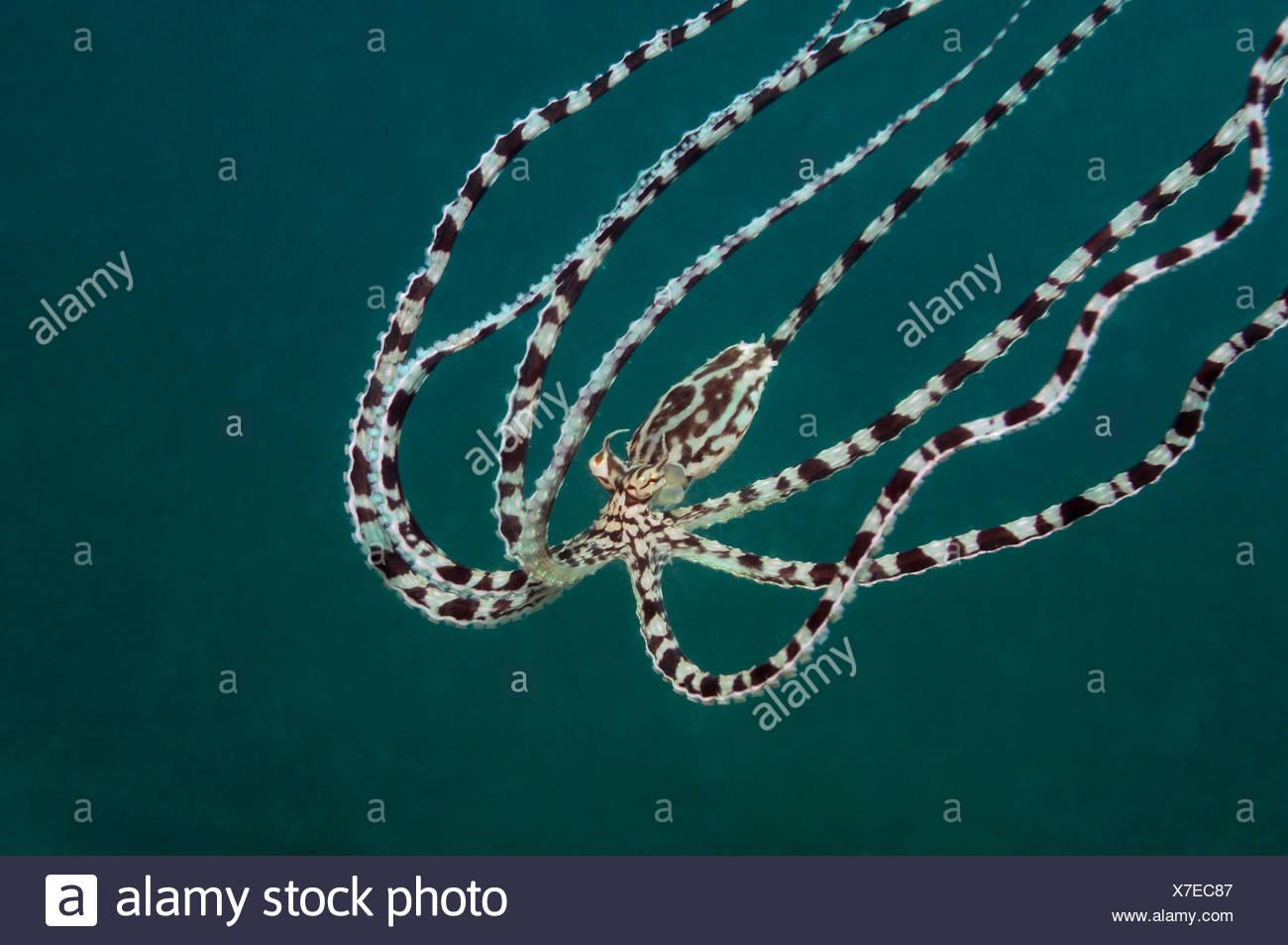 Mimic Octopus, Thaumoctopus mimicus, Lembeh Strait, Sulawesi, Indonesia - Stock Image