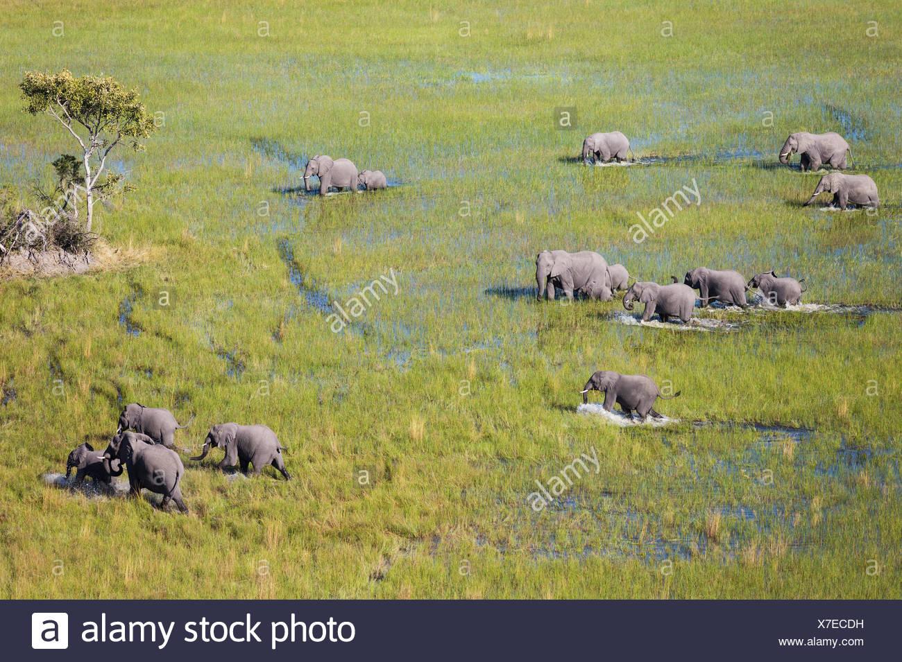 African Elephant (Loxodonta africana), breeding herd, roaming in a freshwater marsh, aerial view, Okavango Delta - Stock Image
