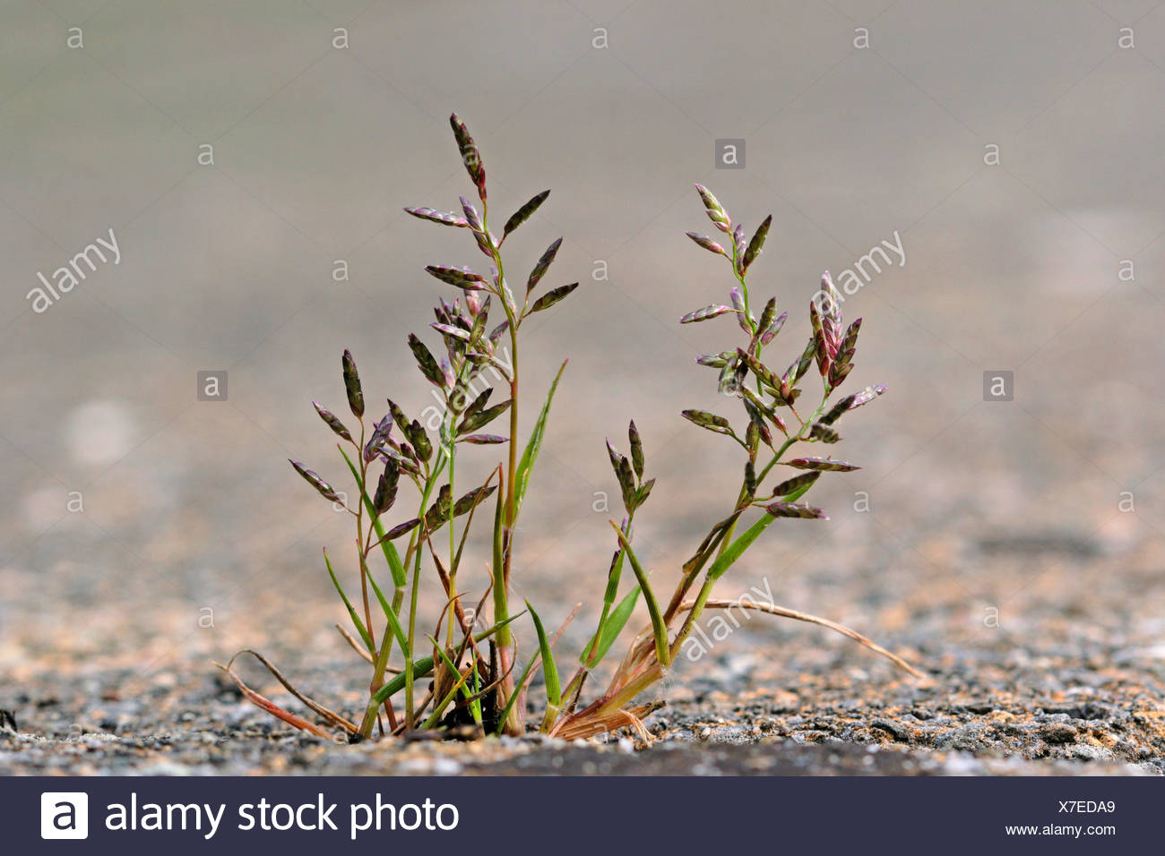 Kleines Liebesgras (Eragrostis minor, Poa eragrostis), bluehend auf einem Buergersteig, Deutschland | Little love grass, Little  Stock Photo