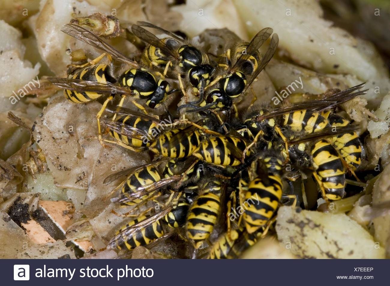 common wasps - Stock Image