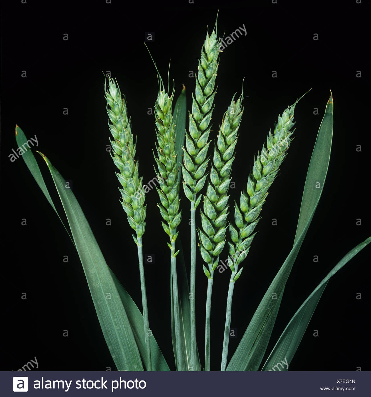 Close up unripe green wheat ears against a studio black background - Stock Image
