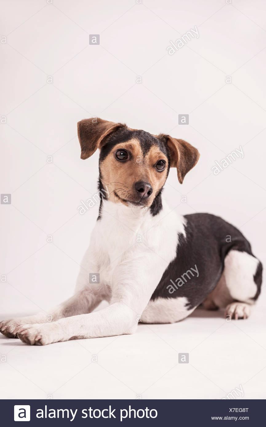 Danish Swedish Farmdog, lying Stock Photo
