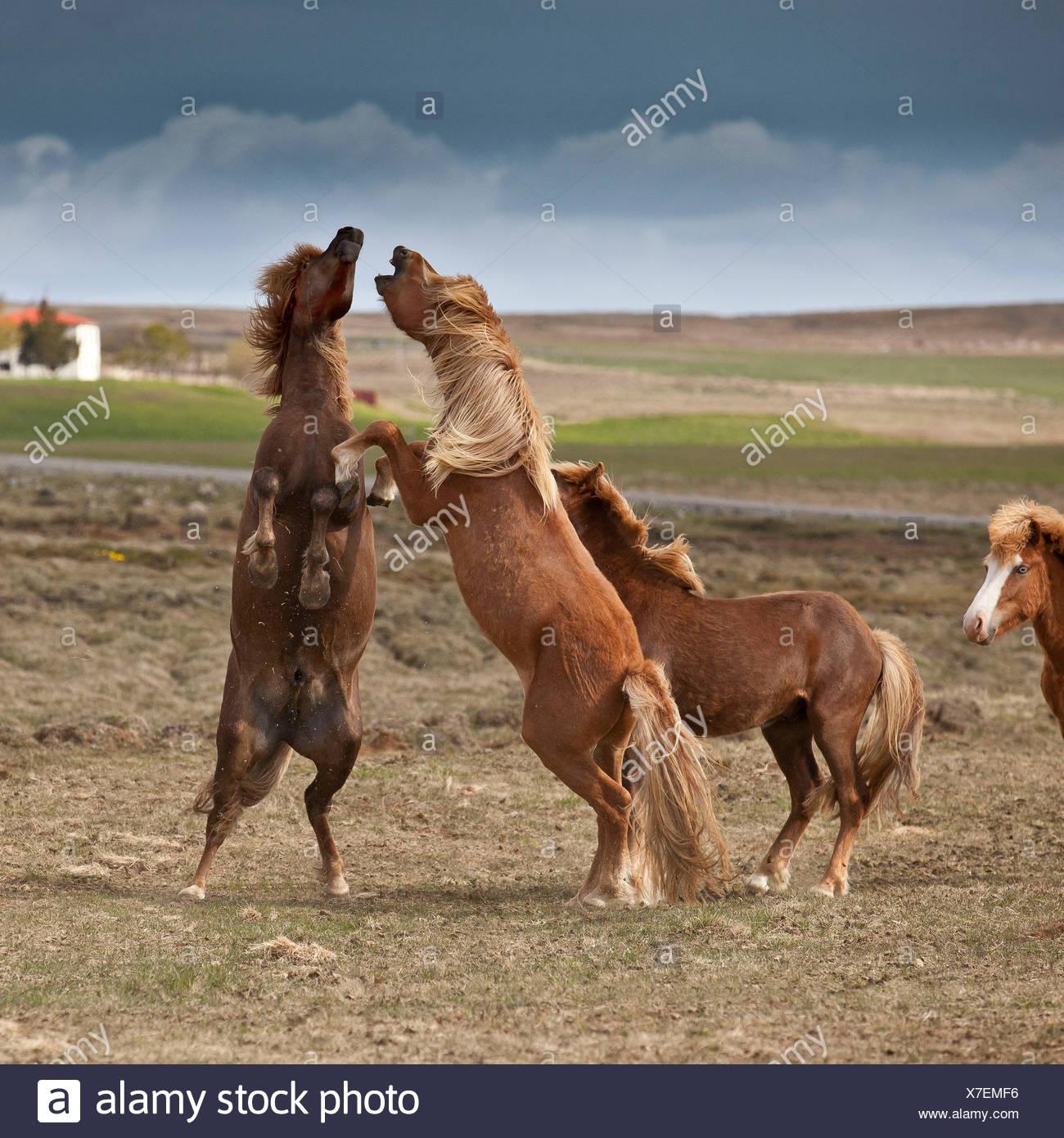 Icelandic Horses Playing, Iceland - Stock Image