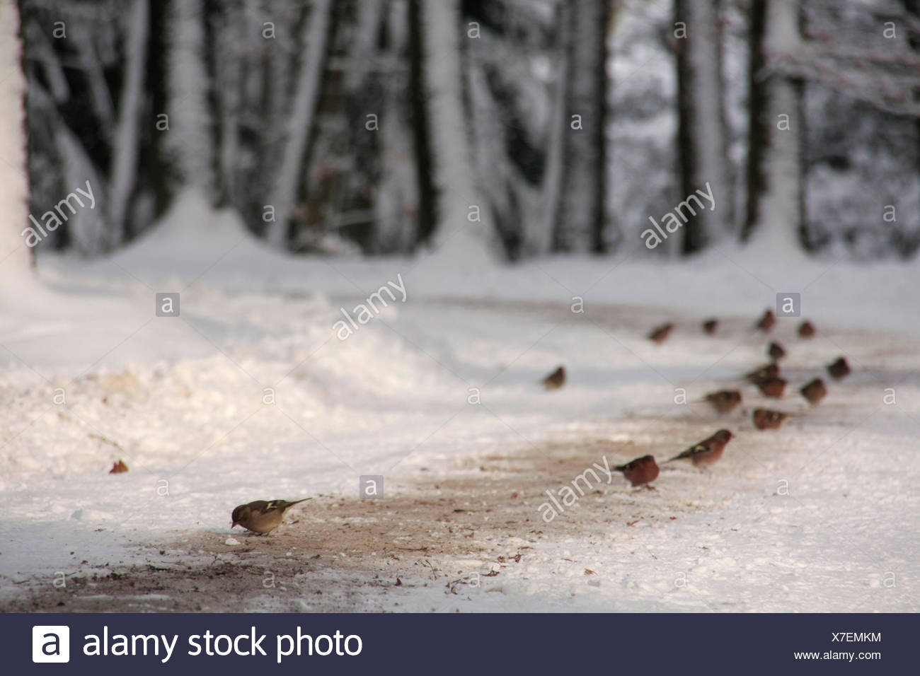 Chaffinches foraging at a forest lane, snow. - Stock Image