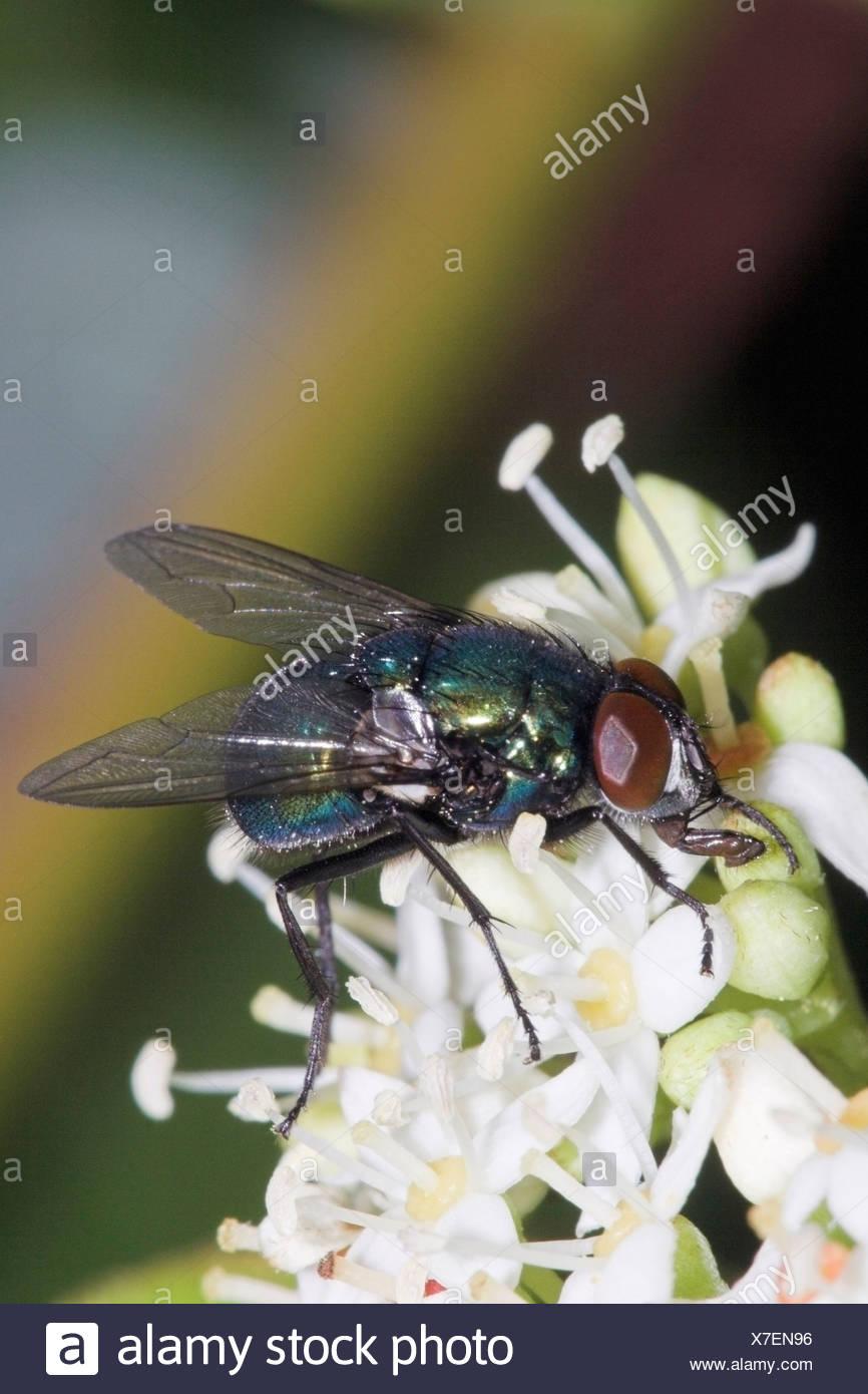 Green bottle fly (Lucilia sericata) on white flower, makro Stock Photo