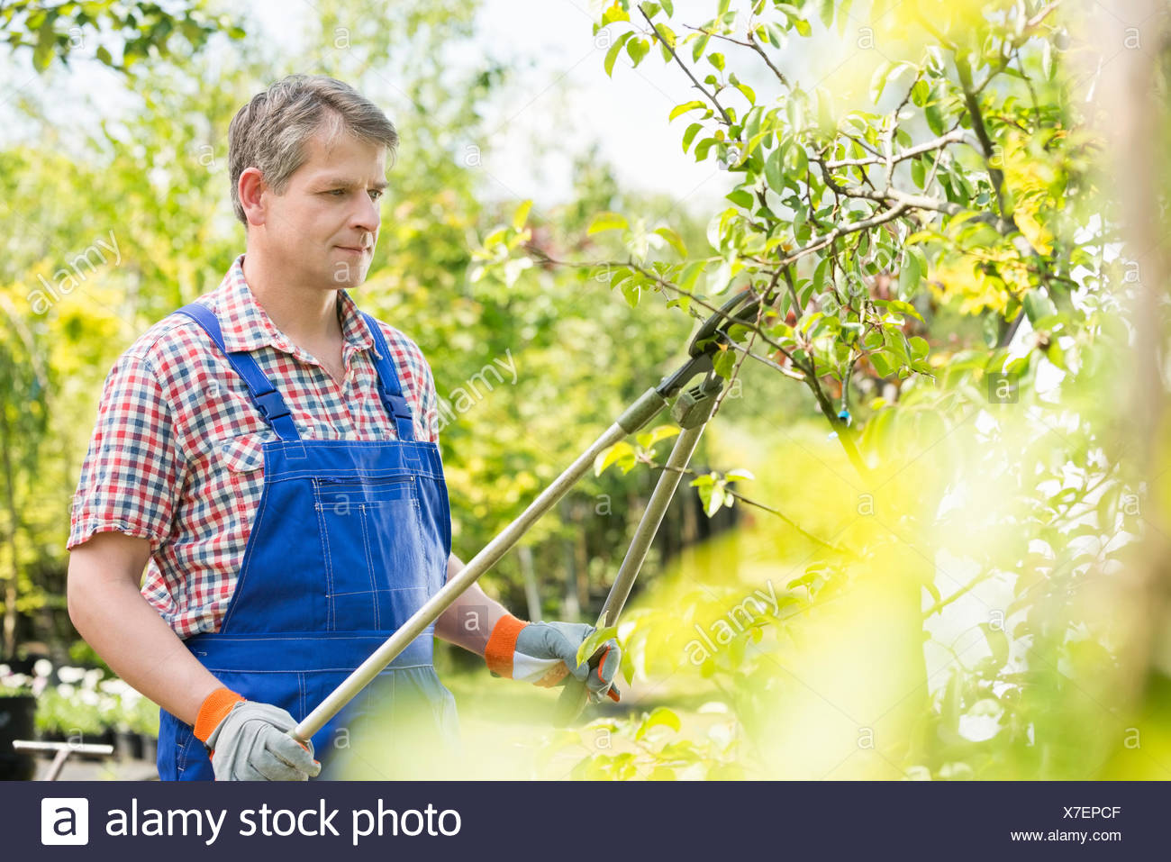 Gardener trimming tree branches at plant nursery - Stock Image