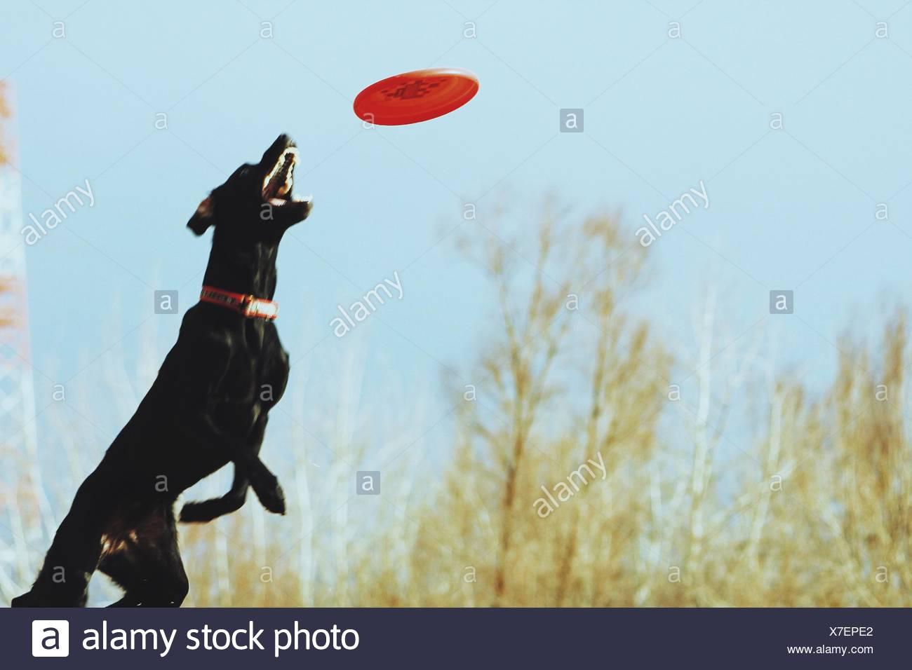 Doberman Pinscher Catching Plastic Disc - Stock Image