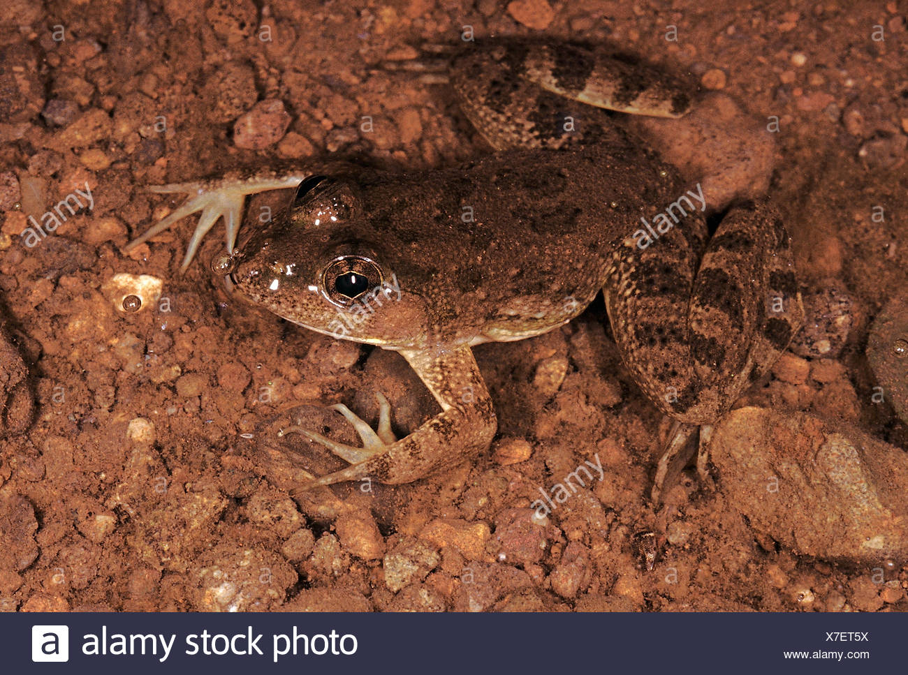 Occidozyga Cyanophlyctis. Indian skipping frog. A medium sized frog usually found in or immediately adjacent to water - Stock Image