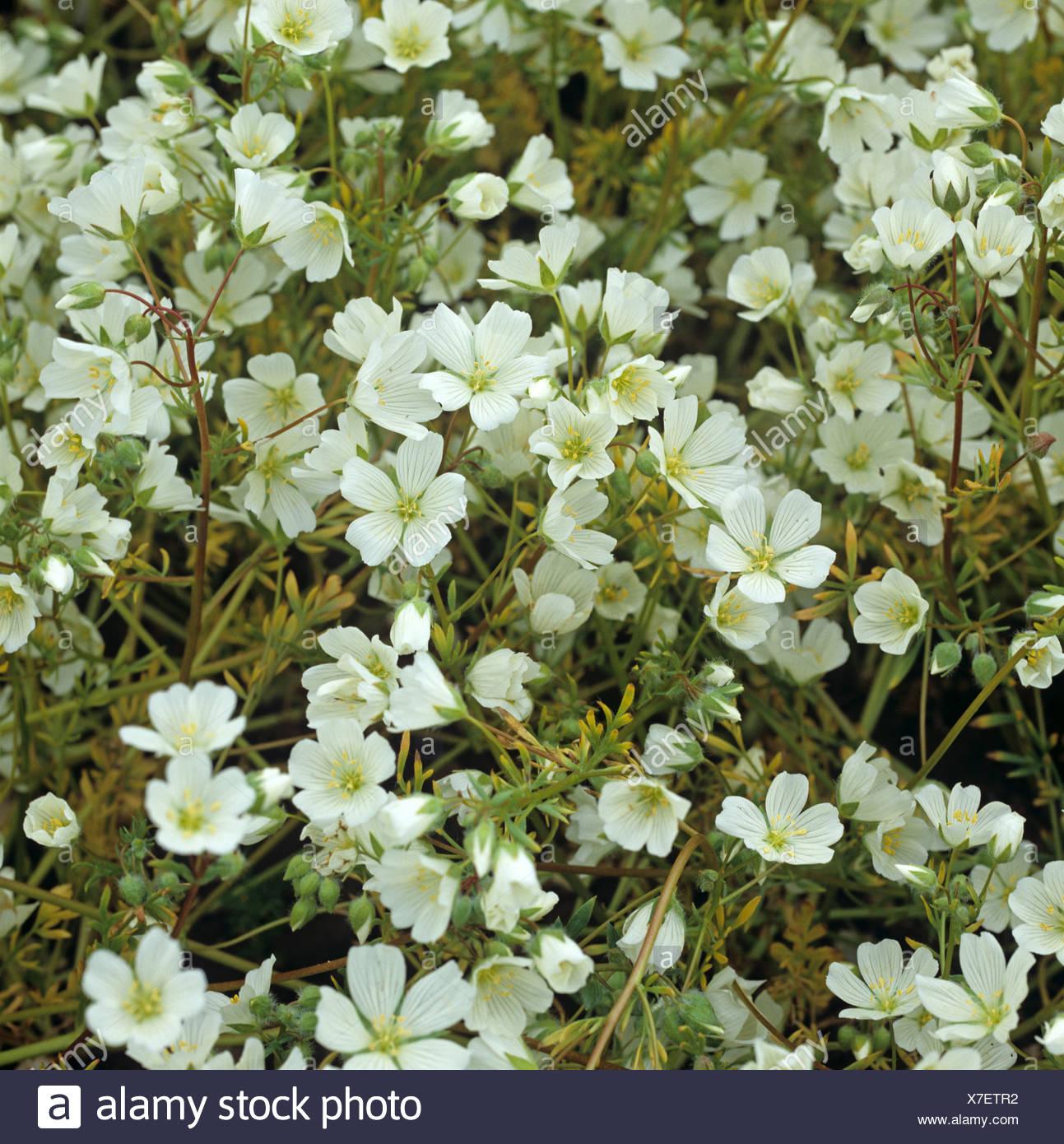 White meadowfoam, Limnanthes alba, crop in full flower - Stock Image