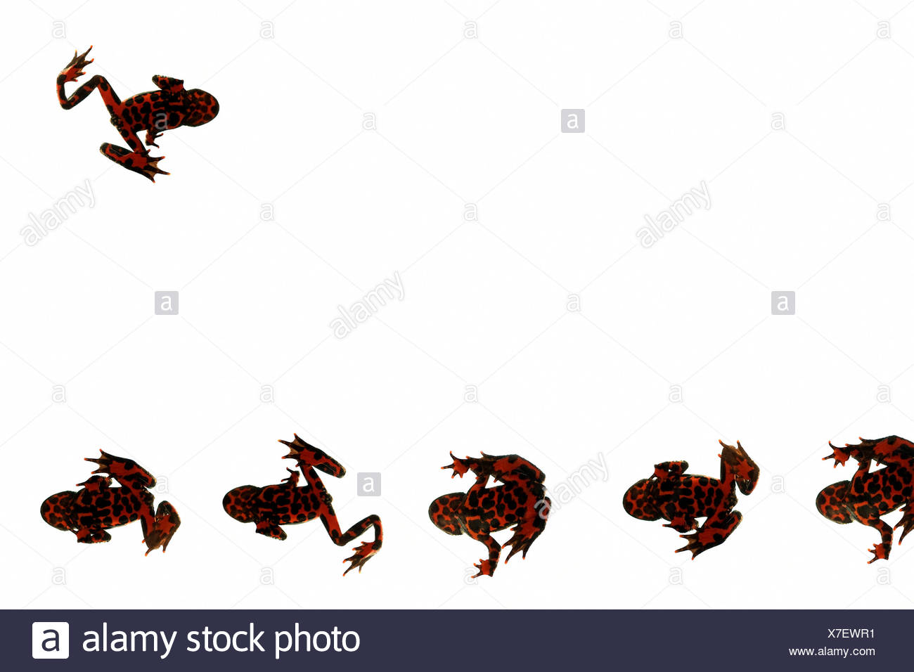 Fire belly frog silhouettes - Stock Image