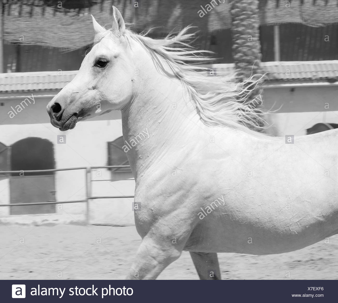 Arabian Horse in a sandy ranch/ featuring Arabian Horse in a sandy field in sunny day - Stock Image