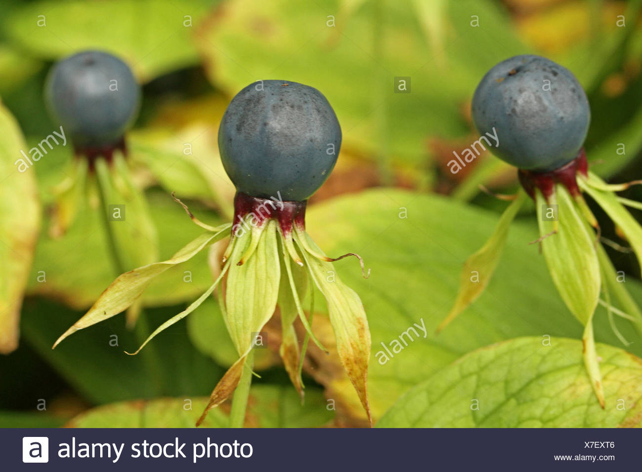 Herb Paris Plants With Berries Stock Photo 279996870 Alamy