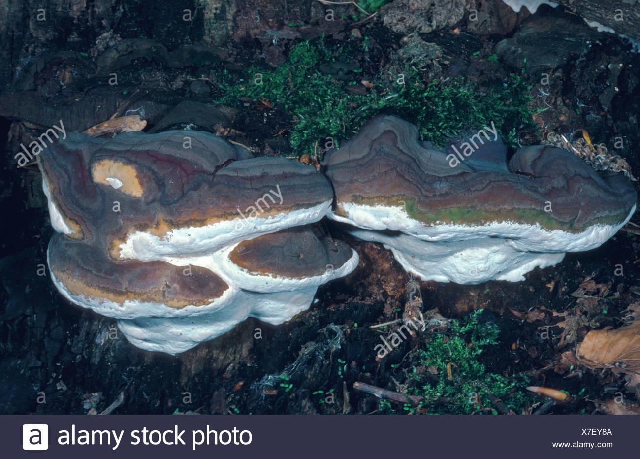 bracket (Ganoderma pfeifferi), Germany, Hesse, Cassel Stock Photo