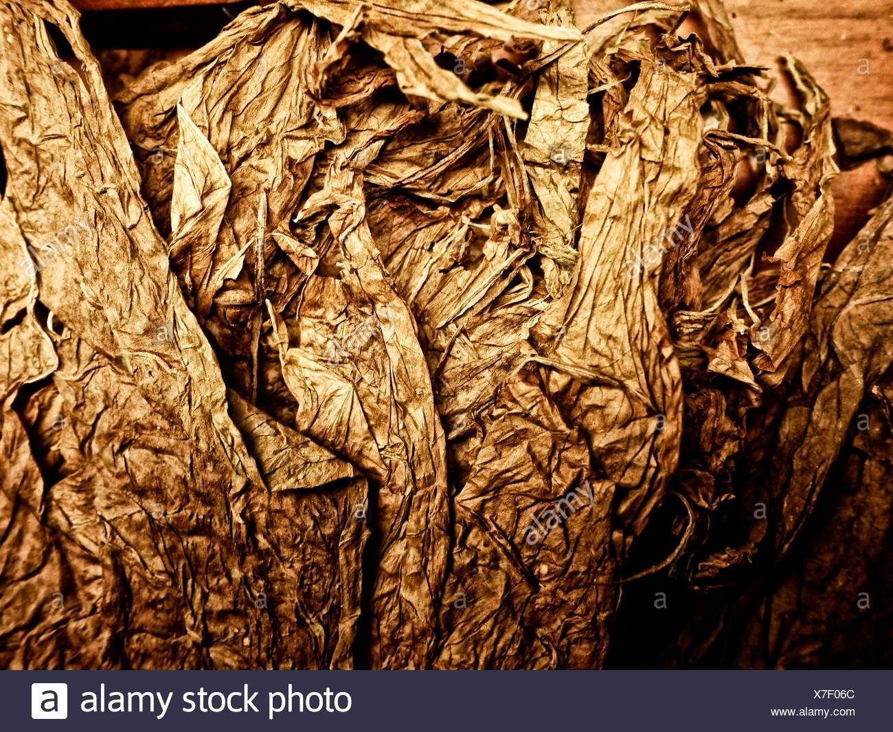 Dry tobacco leaves. - Stock Image