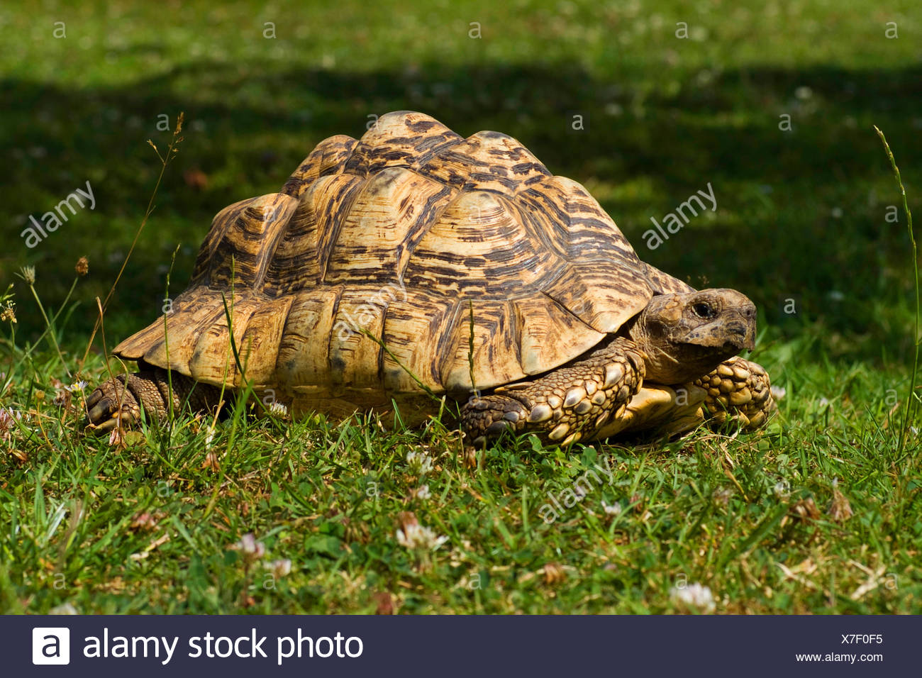 leopard tortoise (Geochelone pardalis), lying in a meadow - Stock Image