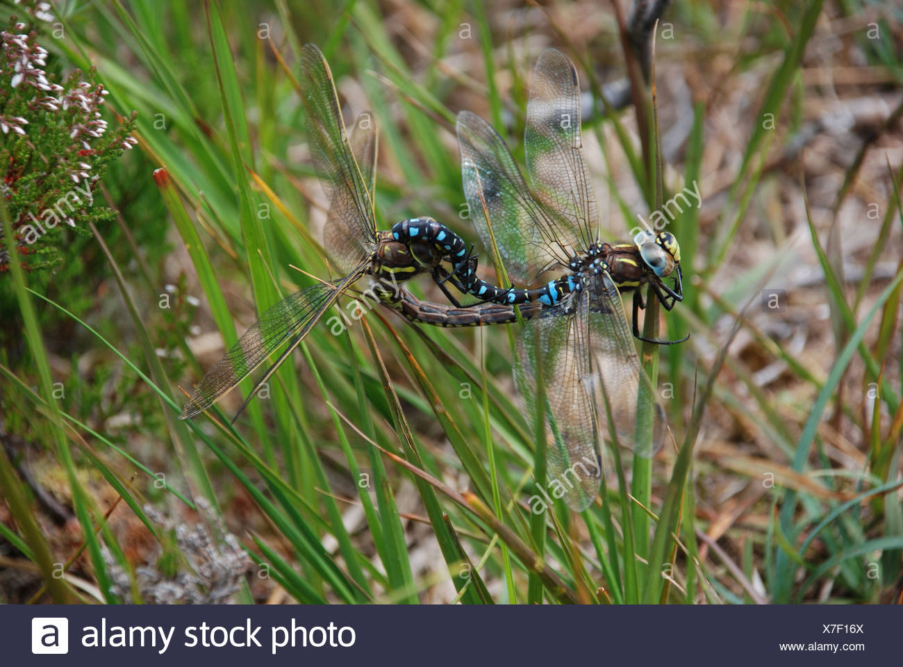 Emperor dragonflies (Anax imperator) mating in vegetation. - Stock Image
