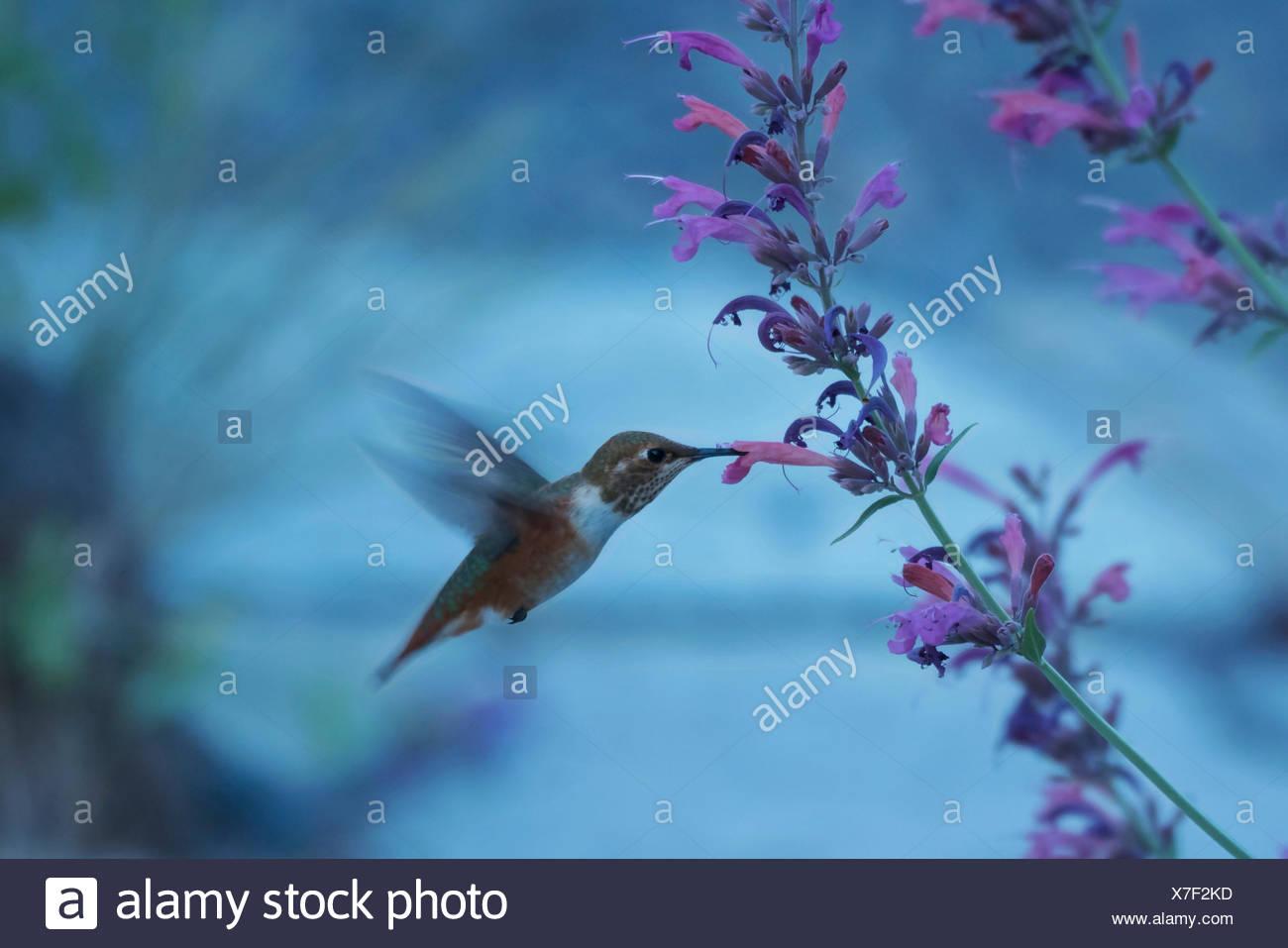 Oregon, Deschutes County, Bend, Hummingbird, - Stock Image