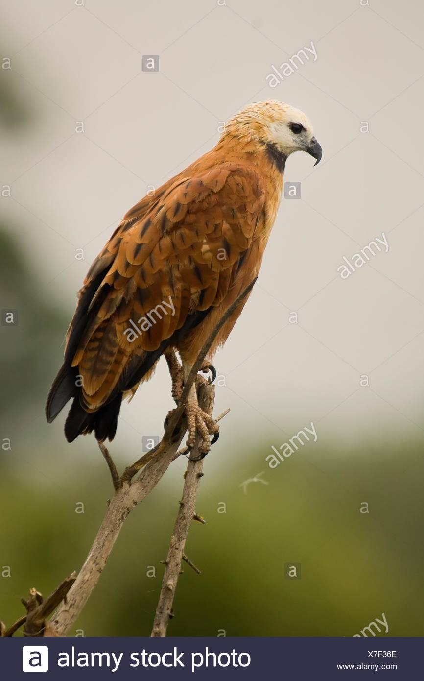 Black-collared Hawk , Pantanal, Mato Grosso, Brazil / Busarellus nigricollis - Accipitridae Family – Falconiformes Order - Stock Image