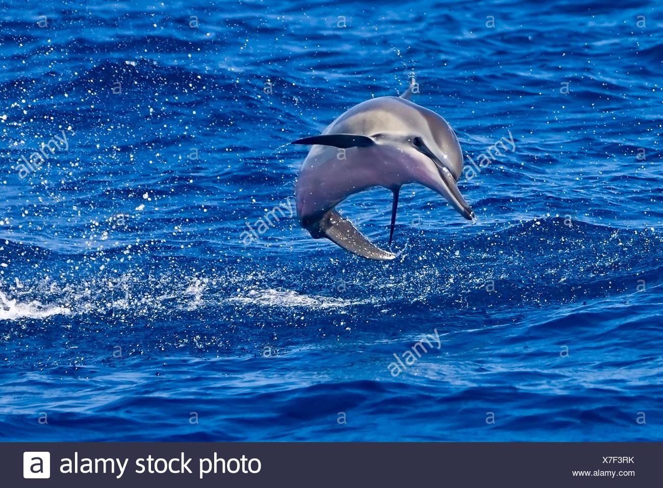 Hawaiian spinner dolphin calf (Stenella longirostris longirostris) jumping, Hawaii - Stock Image