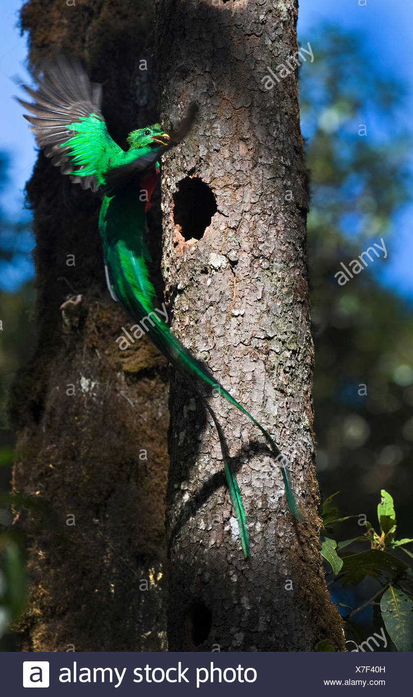 Resplendent Quetzal Pharomachrus mocinno male bringing wild avocado to feed young at nest Central Highlands Costa Rica - Stock Image