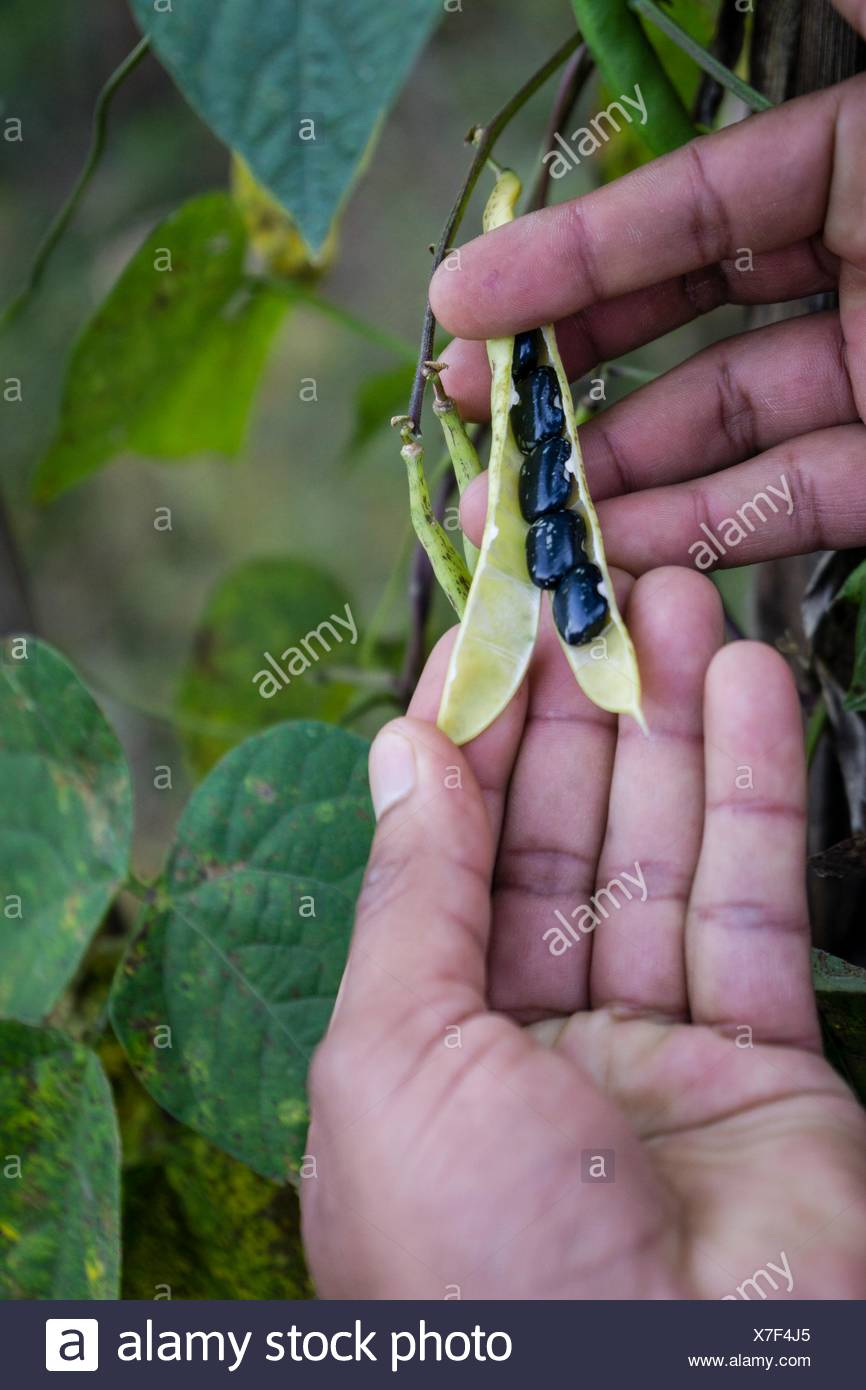Guatemala, Santiago Atitlan, Lake Atitlan, Frijoles plantation in the slopes of Toliman volcano - Stock Image