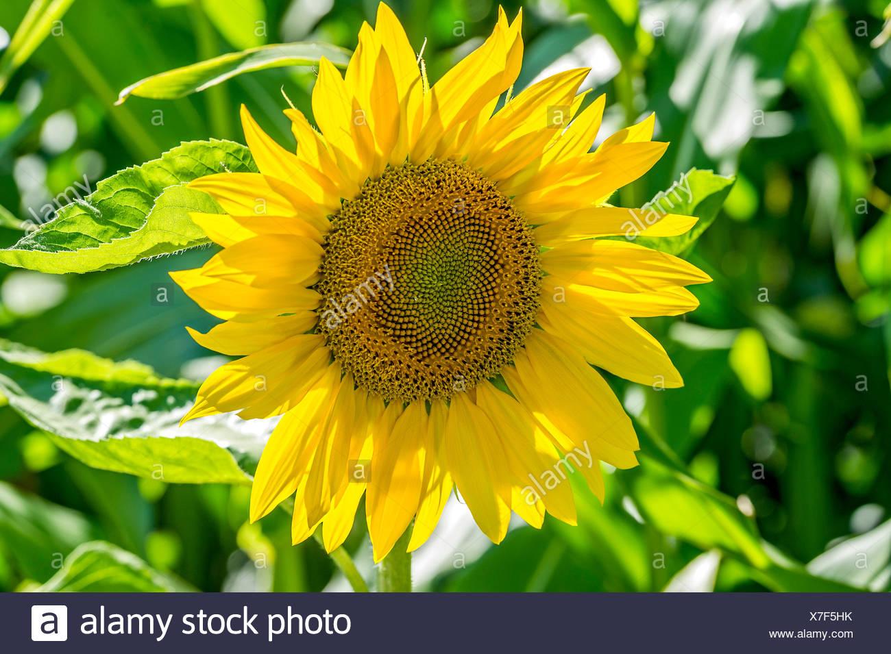 Sunflower (Helianthus annuus), Bavaria, Germany - Stock Image