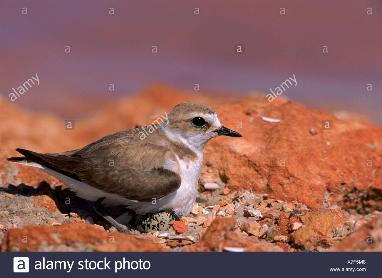 Kentish Plover female on nest with egg visible Spain Europe - Stock Image