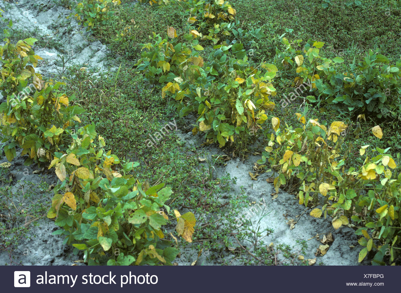 Common purslane Portulaca oleracea and other weeds flowering in maturing soya crop - Stock Image