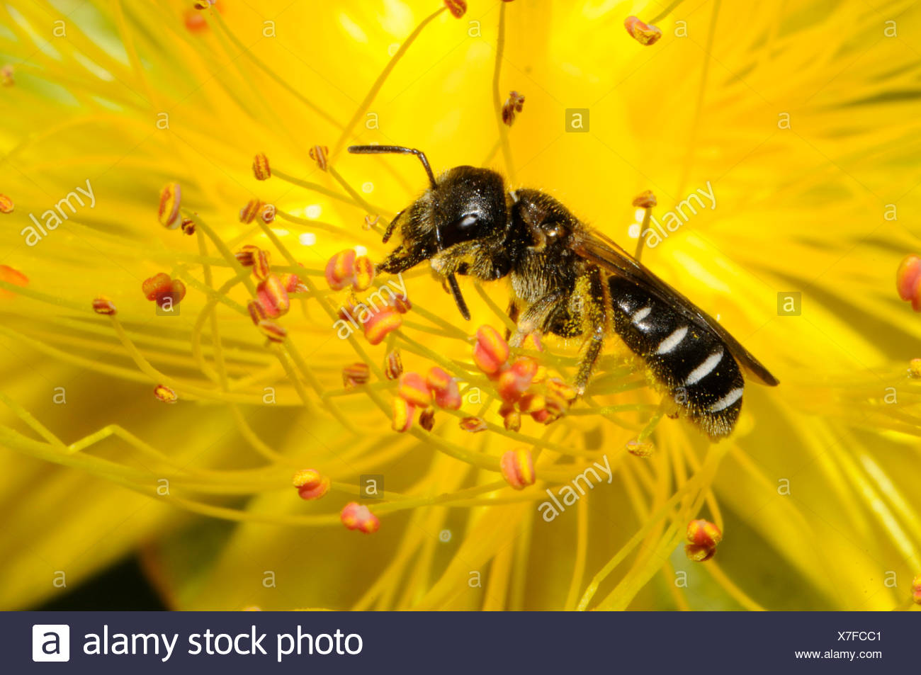 Small flecked Mining-bee on Wort flower - Northern Vosges - Stock Image