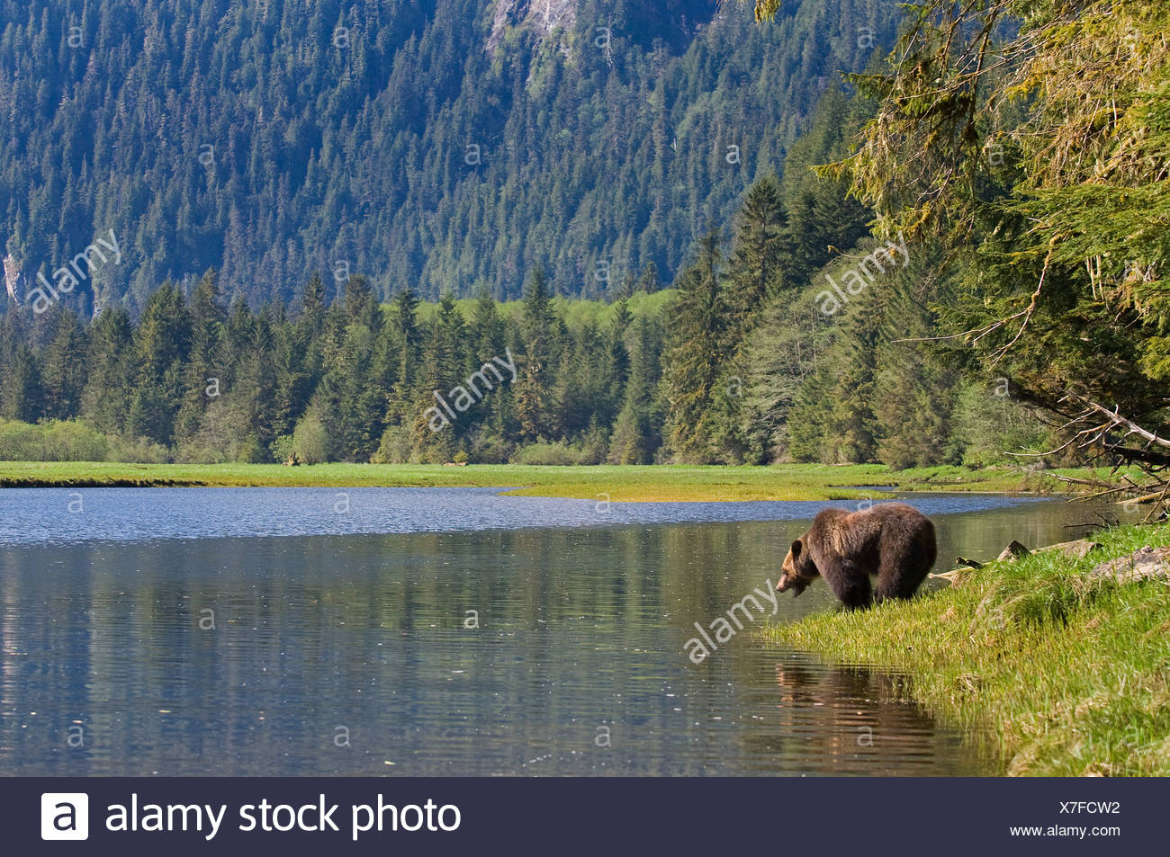 Grizzly Bear (Ursus arctos horribilis) at edge of a river. Khutzeymateen Grizzly Bear Sanctuary North of Prince Rupert British C - Stock Image