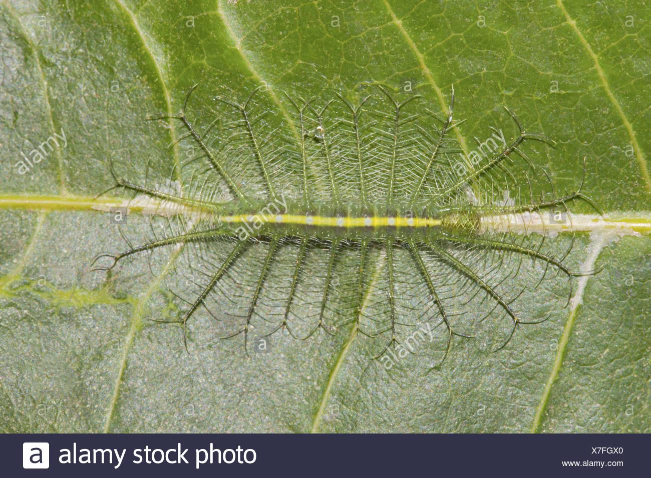 COMMON BARON Euthalia aconthea Caterpillar Bangalore, INDIA