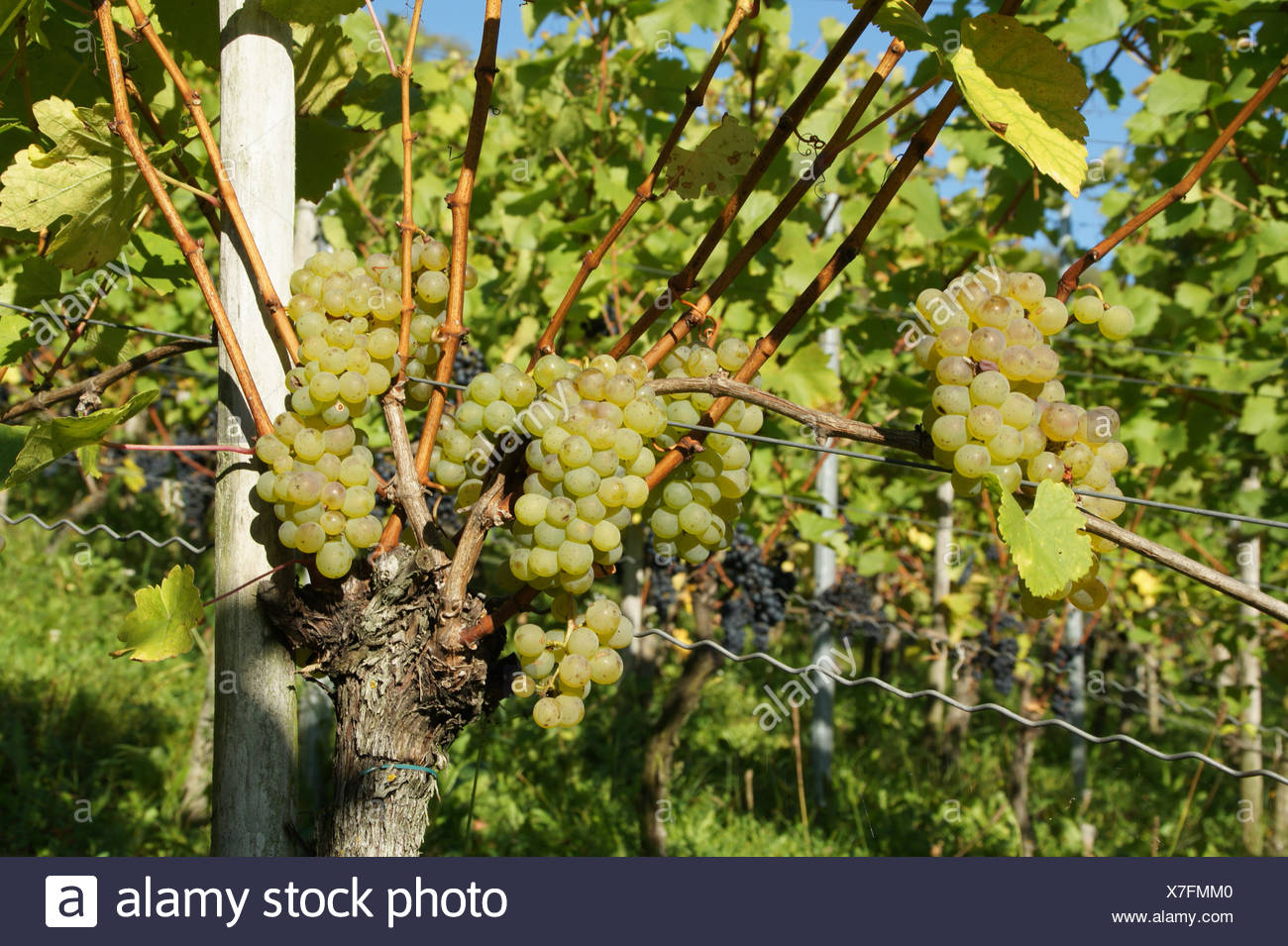 Vitis vinifera Silvaner, Grape vine Stock Photo