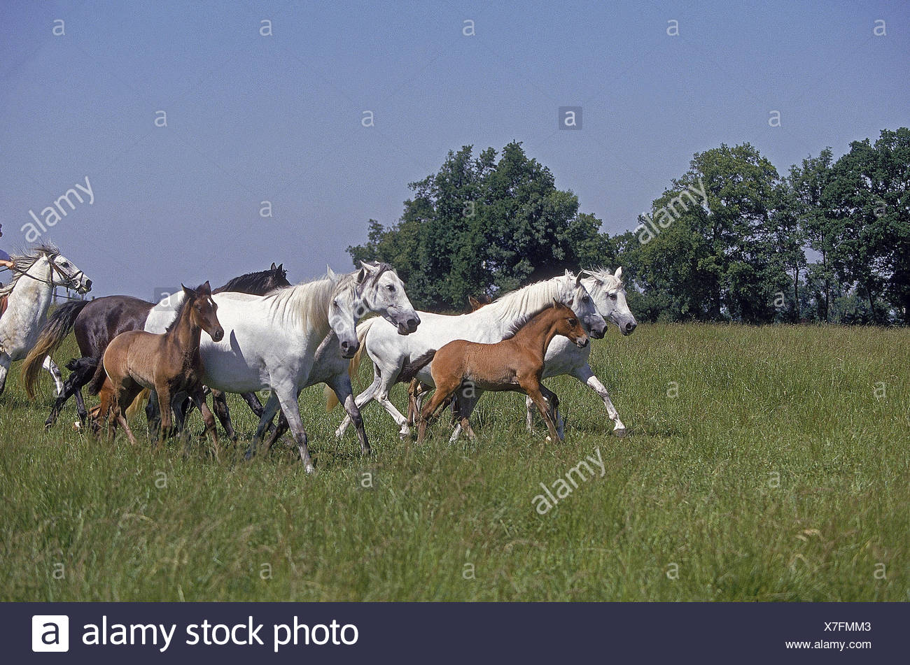 Lusitano horses, mares with foal, pasture, Stock Photo