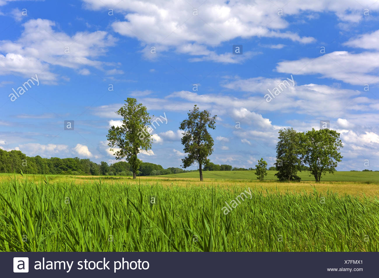 reed belt and single trees in summerly field scenery, Germany, Mecklenburg-Western Pomerania, Roebel - Stock Image