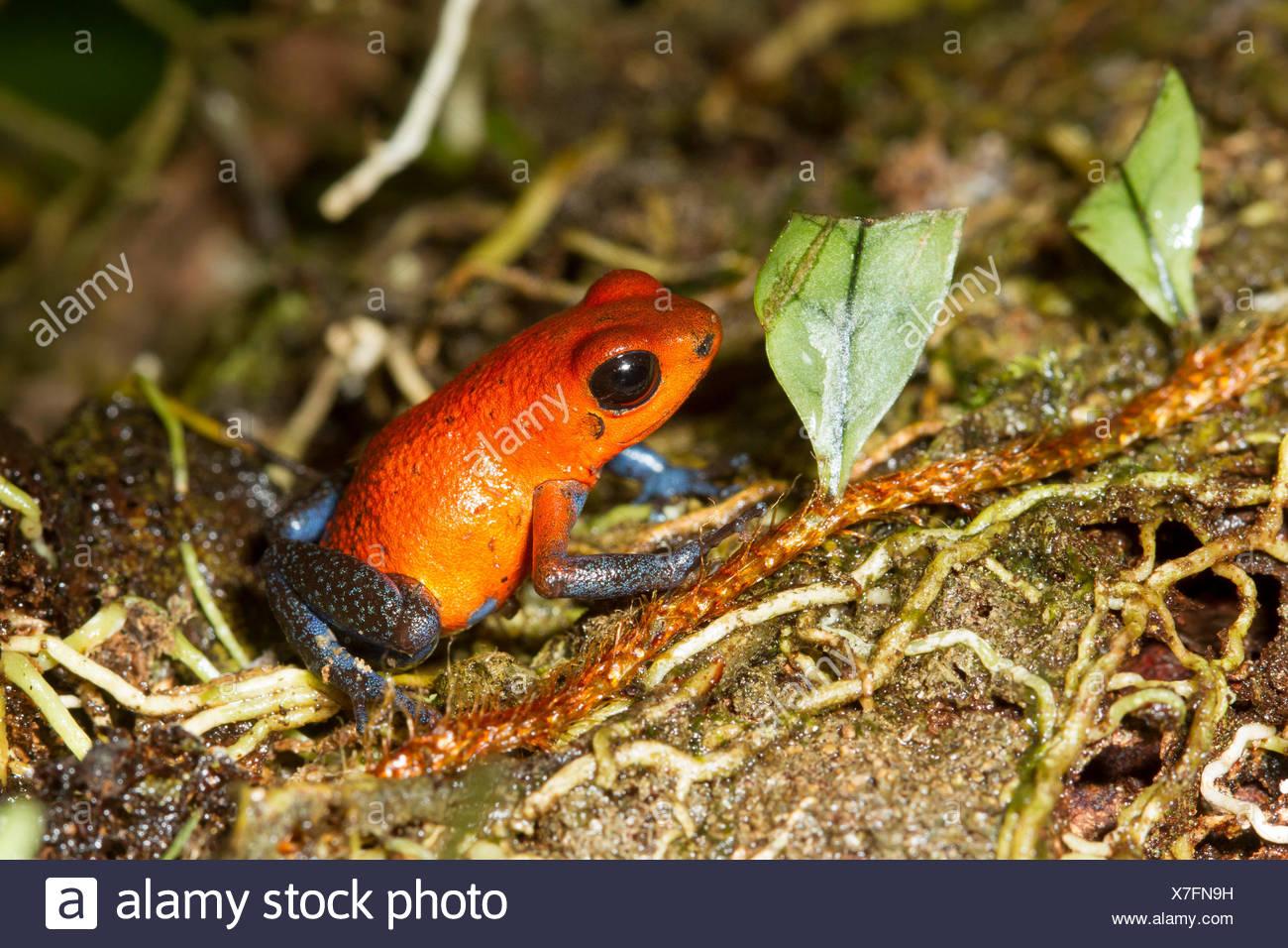Strawberry poison dart frog, Oophaga pumilio Costa Rica, Central America, - Stock Image