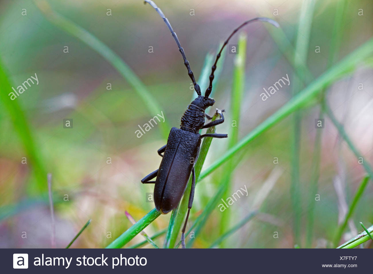 musk beetle (Aromia moschata), on blade of grass, Germany, Bavaria, NSG Maeusberg - Stock Image