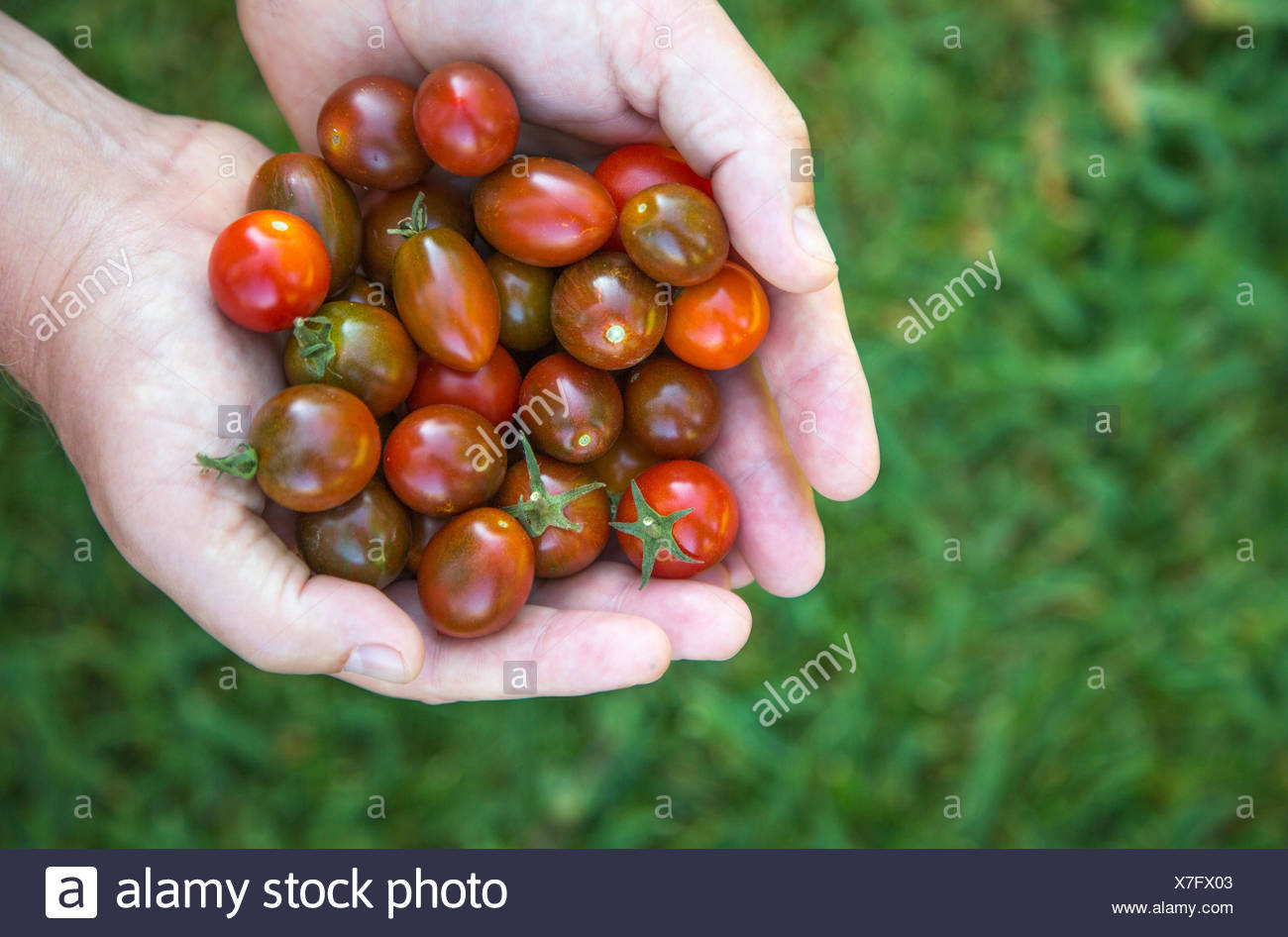 homegrown just picked cherry tomatoes, shown right side, held in the hand against grass - Stock Image