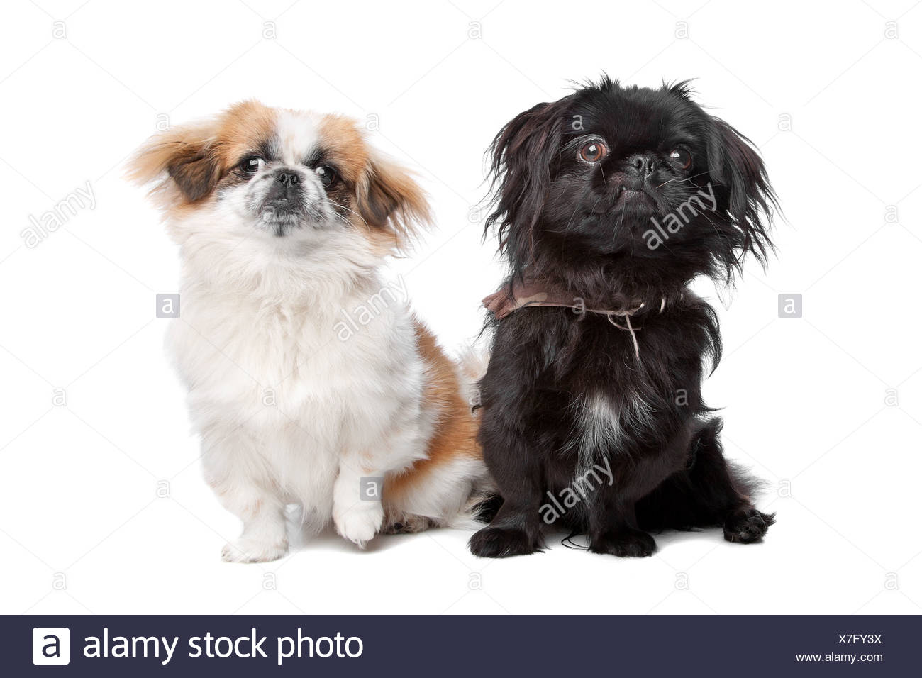 Hello, please tell me how Pekingese dogs are small children. Is there a danger 7