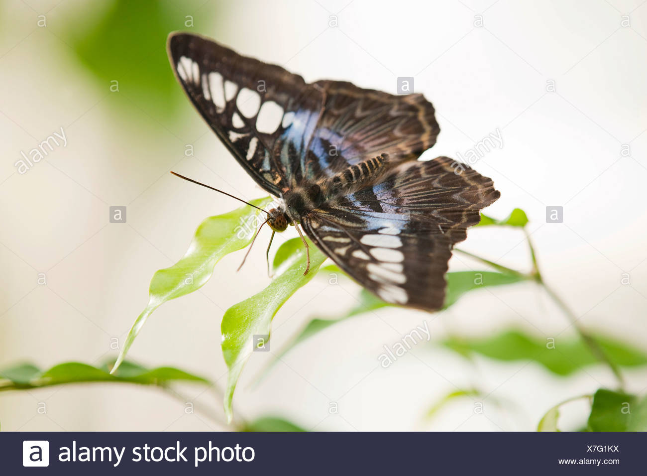 Blue Clipper butterfly (Parthenos sylvia lilacinus), captive, Thuringia, Germany - Stock Image